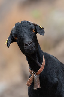 The Quizzical Goat