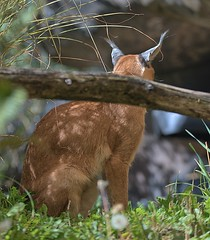 Caracal (Scott 97006) Tags: cat caracal zoo african animal