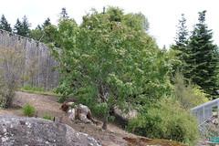 Acer glabrum-11 (The Tree Library (TreeLib.ca)) Tags: acerglabrum douglasmaple