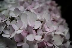 Pastel bloemen (yentlcaptures) Tags: flower flowers nature photography pastel pastelcolours macro netherlands soulful mood inspiring