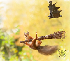red squirrel is hanging at a broom with a bat (Geert Weggen) Tags: broom old squirrel eurasianredsquirrel halloween medieval witch animalwildlife animalsinthewild autumn carrying cleaning colorimage dirt eating holidayevent horizontal nopeople outdoors paranormal photography reaching summer sweden travel bat bispgården jämtland geert weggen ragunda hardeko