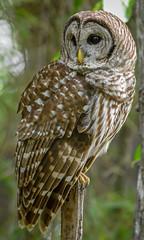 20170510-DSC_4942 (Corvid1) Tags: boggarden barredowl raptor