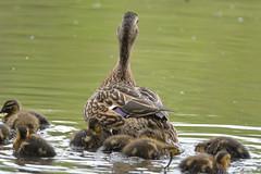 20170510-DSC_4886 (Corvid1) Tags: boggarden duck ducklings waterfowl