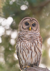 Barred Owl portrait (agnish.dey) Tags: bird birding birdwatching bokeh birdsofprey portrait perched wildlife nature naturallight naturephotograph nikon naturethroughthelens d500 animalplanet coth owl florida