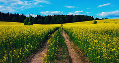 Canola Road (free3yourmind) Tags: canola road flowers path belarus minsk nature forest blue sky field