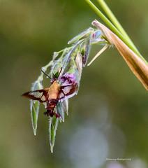 Hummingbird Moth (Gatorgirl51) Tags: hummingbird moth transparent wings nector hover nikon 7100 clearwing