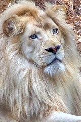 His majesty (ucumari photography) Tags: ucumariphotography white male lion animal mammal leoleo metro richmond virginia va zoo october 2018 basa dsc9842 specanimal