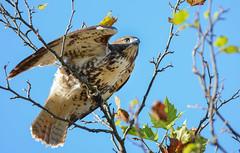 Red-tailed Hawk (JDA-Wildlife) Tags: birds birdsofprey raptors hawks hawkredtailed redtailedhawk nikon nikond7100 tamronsp150600mmf563divc jdawildlife johnny portrait closeup eyecontact whatbirdbestofday wow