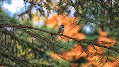 Out on a Limb (Steve InMichigan) Tags: blackcappedchickadee spruce birds michiganbirds chickadee supertakumar 55mm f18 asahi lensfotasy m42eos m lens adapter