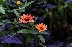 St. Vital Park Flowers (Bracus Triticum) Tags: st vital park flowers winnipeg ウィニペグ マニトバ州 manitoba canada カナダ 9月 九月 長月 くがつ kugatsu nagatsuki longmonth 2018 平成30年 fall autumn september