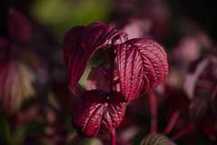 Dogwood Leaves (Grumpy O M) Tags: red leaves redleaves dogwood nikond750 nikkorafp70300 plants garden