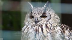 IMG_5698 (Roy Wolfe) Tags: 760d animal europe locationgeo locationtheme ukgreatbritain digitalcamera outdoor remark source zoo paradisewildlifepark owl bird