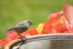 One of the cutest inhabitants of our garden. (Gergely_Kiss) Tags: autumncolors birdinthegarden rozsdafarkú blackredstart birdbathing birdbath