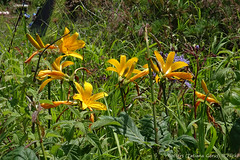 Lily, but not Liliaceae (Tatters ✾) Tags: sakhalin russia wildflowers asphodelaceae flowers yellow yellowflowers hemerocallis hemerocallismiddendorffii