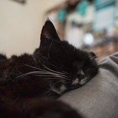 lazy boi (liangford) Tags: cat kitty asleep sleeping snoozing aww indoors scruffy grizzled sony a7ii samyang 35mm