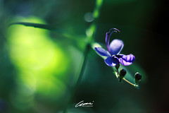 Daydream (mártaczuczi) Tags: purple nature hungary marta czuczi green