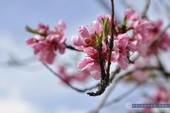 Niederösterreich Wachau Dürnstein_DSC0397 (reinhard_srb) Tags: niederösterreich wachau dürnstein frühling kirschblüte blühen rosa kirschen baum zweig clos up bokeh wachstum frucht obst