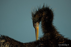 I've got an itch.. (Earl Reinink) Tags: ugly bird animal flying outdoors nature prehistoric wildlife earl reinink earlreinink anhinga water waterfowl waterbird