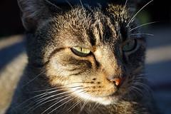 Lucy genießt die warme Oktober Sonne (samgi2) Tags: cats haustier tier indoor pets cat kitty kitten pet animal cute gato feline canon nrw germany katzen katze black welpen baby natur tabby kuschelig beautiful sony hitze sommer herbst autumn