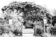 Cedar tree at Hidcote (judy dean) Tags: 2018 autumn judydean hidcote gardens lensbaby