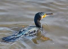 Cormorant (pierre_et_nelly) Tags: phalacrocoraxcorbo phalacrocorax phalacrocoracidae cormorant cormorão corbmarí cormorán cormorano kormoran cormoran riverthames thames chiswick westlondon