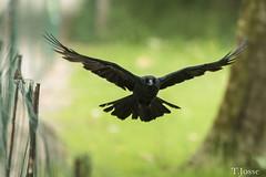 20180609_Vincennes_Corneille noire (thadeus72) Tags: aves birds carrioncrow corneillenoire corvidae corvidés corvuscorone oiseaux passériformes