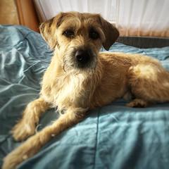 (gwendolen) Tags: dorusvankatoen hollandsesmoushond hond dog campingwithdogs smoushond snapseed