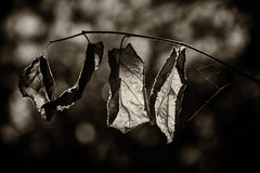 Hanging On (Shastajak) Tags: autumn autumnleaves bokeh monochrome blackandwhite light shadows textures