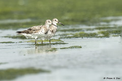 # Great Knots....... (Prem K Dev) Tags: great gorgeous grey knots breeding bird beautiful bokeh bg plumage pulicat pose pleasing water wild wildlife wonderful wader nature india chennai colourful composition catchlight eye feathers details tack sharp action attractive avian blue pair