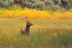 Bull elk - Yellowstone National Park (superpugger) Tags: elk bullelk rut antlers rack nicerack northamericanmammals mammal mammals animals antler yellowstonenationalpark mammoth herd autumn