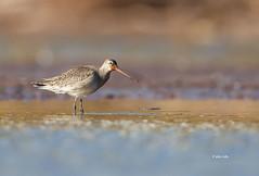 Hudsonian Godwit (Mike Veltri) Tags: godwit hudsoniangodwit birds avian shorebird autumnmigration mud burlington ontario canada