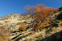 Automne en solitaire (Julien Coudsi) Tags: cévennes automne nature paysage ciel pelouse arbre hêtre montagne 4000marches montaigoual orange couleurs