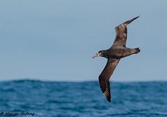 Black-footed Albatross (Phoebastria nigripes) - Tofino, BC (bcbirdergirl) Tags: blackfootedalbatross albatross tofino bc pelagic phoebastrianigripes pelagictrip missbhaven seabird pelagicbirding flight inflight flying boating pelagicbird