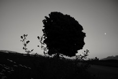 Dialogue... (Mi-Fo-to) Tags: tree flowers sky moon luna albero fiore profilo silouhette bianconero blackwhite nokton 40 14 voigtlander bokeh piani planes focus fuoco grass