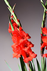 DSC_2053 Gladioli (PeaTJay) Tags: nikond750 sigma reading lowerearley berkshire macro micro closeups gardens indoors nature flora fauna plants gladioli