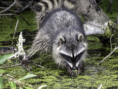 Racoon drinking water or eating salad -Explore (Patrick Dirlam) Tags: trips osoflacolake racoon explore explored