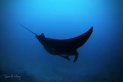 B L A C K (Randi Ang) Tags: reefmantaray reef manta ray mantaalfredi nusa penida nusapenida bali indonesia underwater scuba diving dive photography wide angle randi ang canon eos 6d fisheye 15mm randiang wideangle
