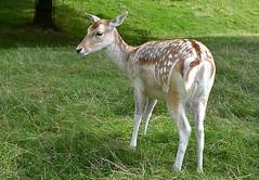 Bambi Look Alike (Eleanor (No multiple invites please)) Tags: deer fallowdeer fallowdoe goldershillpark london uk nikond7200 september2018