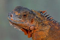 Iguana iguana - the Green Iguana (juvenile) (BugsAlive) Tags: iguana animal squamata macro nature iguanidae iguanaiguana greeniguana juvenile chiangmai thailand