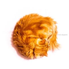 Mr Cat, Brussels, Belgium (monsieur I) Tags: domesticanimal cat monsieuri redcat cute animal