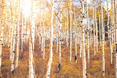 Aspen Glory (miss.interpretations) Tags: autumn aspens leaves foliage fall fallcolors autumncolors goldaspens eagleco colorado autumnincolorado beautifulcolorado peace tranquility september autumn2018 gold orange inlovewithfall silence quiet solitude soundofsilence rachelbrokawphotography coloradophotographer roadtrip introvert hermit bestofcolorado treetrunks canon canonshooter