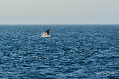 DSC_7386 (heatherphelps1) Tags: orca whale srkw southern residents resident killer whales southernresidents southernresidentkillerwhales endangered cetaceans washington salishsea breach