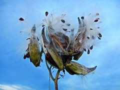 Beauty or beast?      -    Explored.... THANK YOU! (Jeannette Greaves) Tags: milkweed 2018 seed fall autumn explore explored manitobacooperator jspubpic