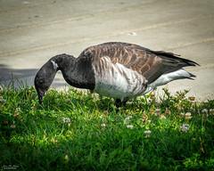 Black Brant (59roadking - Jim Johnston) Tags: ifttt 500px water bird brant waterfowl goose migratory migrant avian