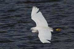 K32P4985c Little Egret, RSPB Morecambe Bay, September 2018 (bobchappell55) Tags: wild nature wildlife rspbleightonmoss lancashire bird littleegret egrettagarzetta