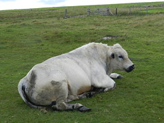 Just resting, Wick Caithness, Aug 2018 (allanmaciver) Tags: just resting white cow big strong animal wick caithness north scotland green grass tired allanmaciver