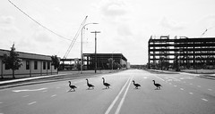 Family of Geese Crossing Street, New Medical Campus of University of Delaware (joelfetzer) Tags: geese goose ducks delaware universityofdelaware newark arrow construction campus road blackandwhite film canonp jupiter12 trix kodak