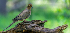 _DSC0912.jpg (David Hamments) Tags: bird ontario mourningdove wildlife ojibwaypark windsor fantasticnature