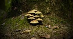 Mushrooms (tucsontec) Tags: mushrooms pilze wald wandern forest tree moos nature natur autumn herbst nahaufnahme