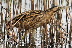 Graham Parry Bittern Botaurus stellaris Dungeness RSPB (GrahamParryWildlife) Tags: grahamparrywildlife sigma 150600 sport 150 600 canon 7d mkii outdoor animal depth field mk2 uk kent rspb viewing photo new sunlight up blue dof kentwildlife dungeness bird heron reflected water waterfront bittern arc booming brown botaurus stellaris male grass landscape short sighted wood